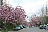 Portland SE Cherry Blossoms