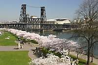 Portland Waterfront Blossoms Bridges