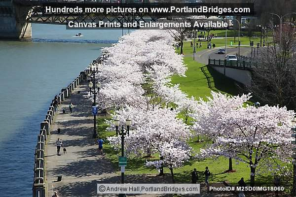 Portland Waterfront Cherry Blossoms from Steel Bridge